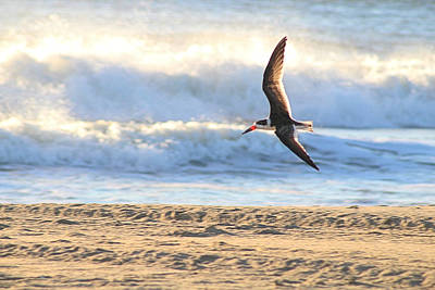 Poster featuring the photograph Black Skimmer Soaring by Robert Banach