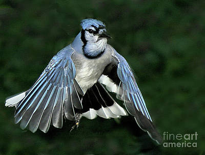 Poster featuring the photograph Blue Jay by Debbie Stahre