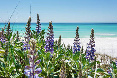 Blue Lupine On The Beach Poster