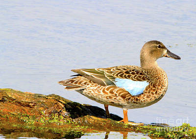 Blue-winged Teal Female Duck Poster