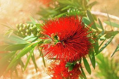 Bottlebrush Bloom Poster
