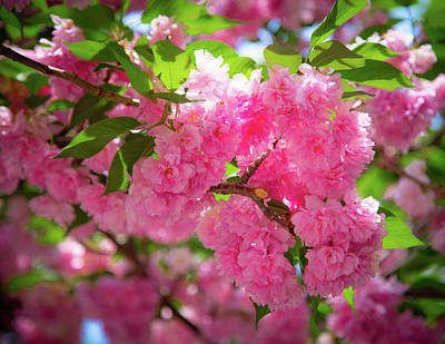 Bright Pink Blossoms Poster