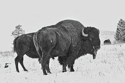 Buffalo In The Snow Poster