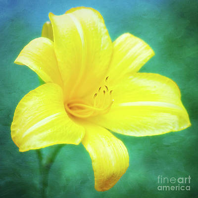 Buttered Popcorn Daylily In Her Glory Poster