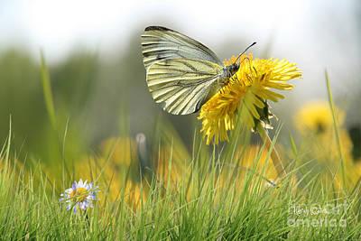 Butterfly On Dandelion Poster