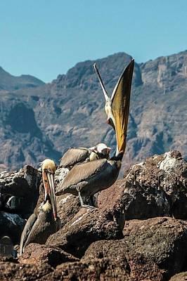 California Brown Pelicans In Ilsa Danzante Harbor Poster