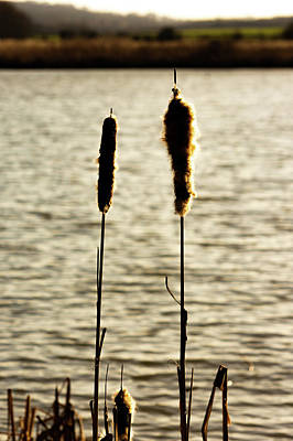 Cattails In The Sun Poster