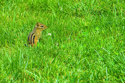 Chipmunk And The Flower Poster