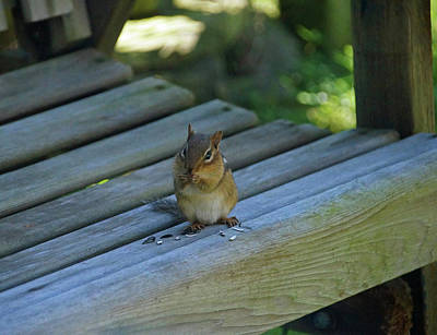 Poster featuring the photograph Chipmunk Eating Seeds by Angela Murdock