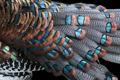 Poster featuring the photograph Copper-tipped Ocellated Turkey Feathers Photograph by Debi Dalio