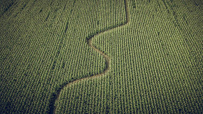 Corn Field Poster