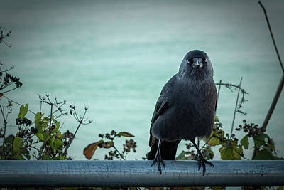 Cornish Crow Poster