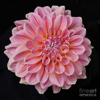 Poster featuring the photograph Dahlia  by Ann Jacobson