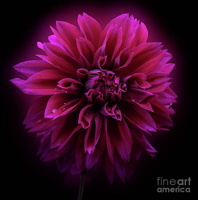 Poster featuring the photograph Dahlia 'thomas Edison' by Ann Jacobson
