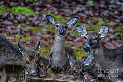 Deer Gathering Poster
