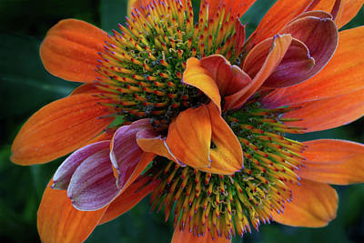 Poster featuring the photograph Double Coneflower by Dale Kincaid