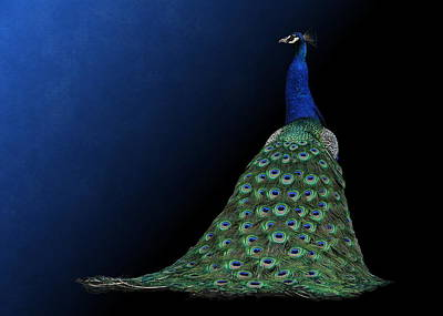 Poster featuring the photograph Dressed To Party - Male Peacock by Debi Dalio