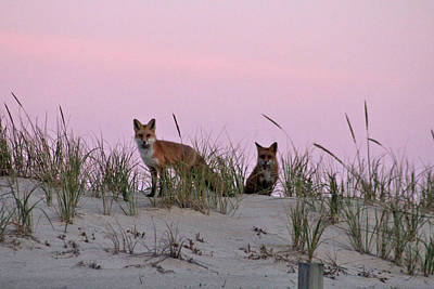 Poster featuring the photograph Dune Foxes by Robert Banach