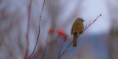 Early Spring Sparrow Poster