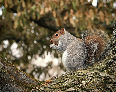 Poster featuring the photograph Eastern Gray Squirrel Plumping For Winter by Bill Swartwout Fine Art Photography