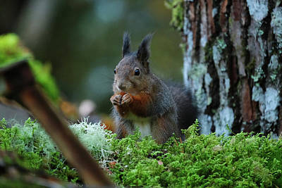 Eating Squirrel Poster