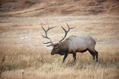 Elk In Yellowstone National Park Poster