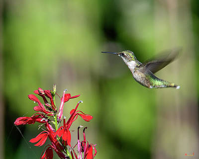 Female Ruby-throated Hummingbird Dsb0320 Poster