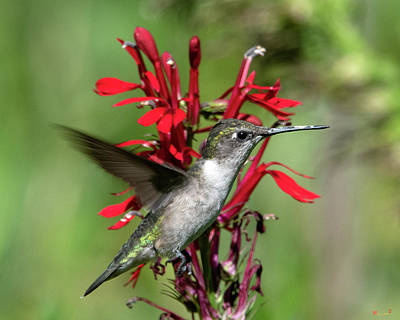 Female Ruby-throated Hummingbird Dsb0325 Poster