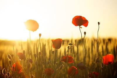 Field Of Poppies At Dawn Poster