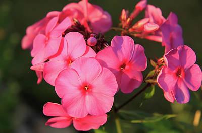 Flaming Pink Phlox Poster
