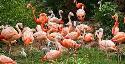 Flamingos Outdoors Poster
