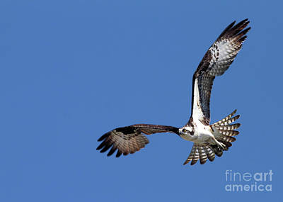 Focused Osprey Poster