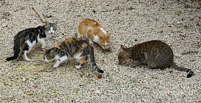 Poster featuring the photograph Four Foraging Felines by PJ Boylan