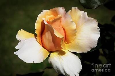 Fragrant Rose Poster