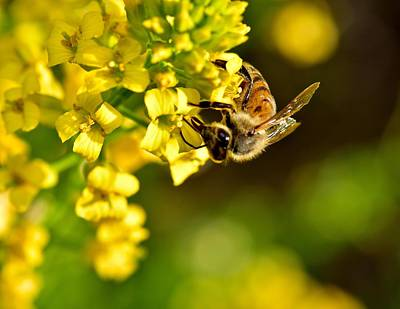 Gathering Pollen Poster