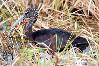 Glossy Ibis 123015 Poster