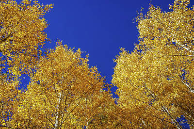 Golden Aspens And Blue Skies Poster