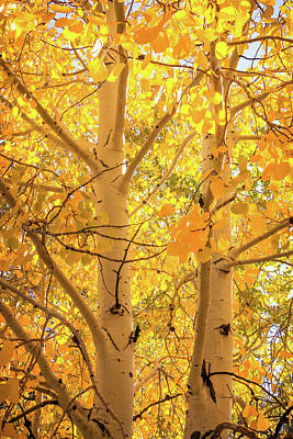 Golden Aspens In Grand Canyon, Vertical Poster