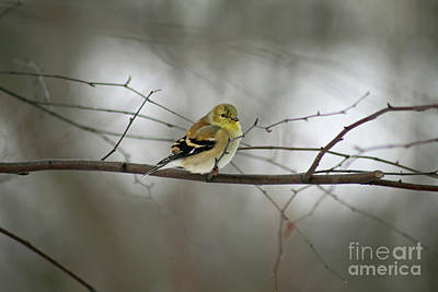 Goldfinch In Winter Looking At You Poster