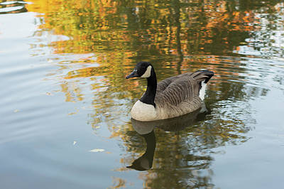 Poster featuring the photograph Goose Reflecting In Water by Scott Lyons