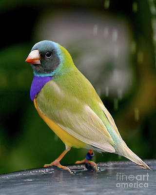 Poster featuring the photograph Gouldian Finch? #2 by PJ Boylan