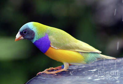 Poster featuring the photograph Gouldian Finch?  by PJ Boylan