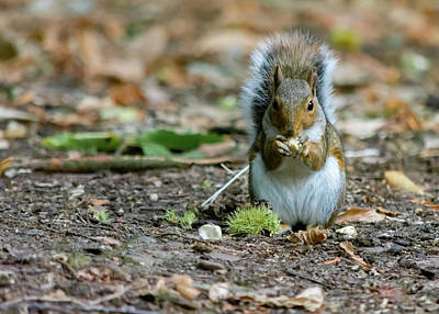 Poster featuring the photograph Gray Squirrel Stood Upright Eating A Nut by Scott Lyons