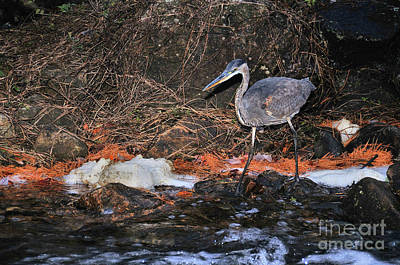 Poster featuring the photograph Great Blue Heron by Debbie Stahre