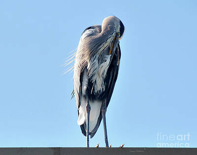 Great Blue Heron Preening On A Roof Poster