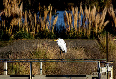 Great Egret Posing By Golden Pampas Grass Poster