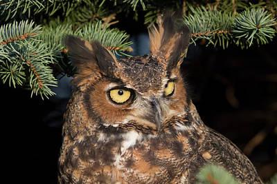 Great Horned Owl 10181802 Poster