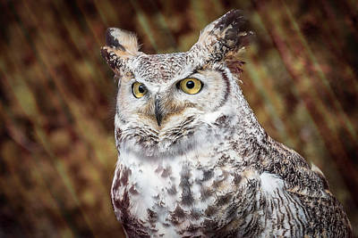 Great Horned Owl Portrait Poster