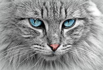 Grey Cat With Blue Eyes Poster
