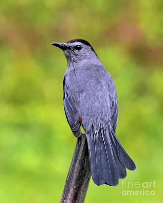 Grey Catbird Poster